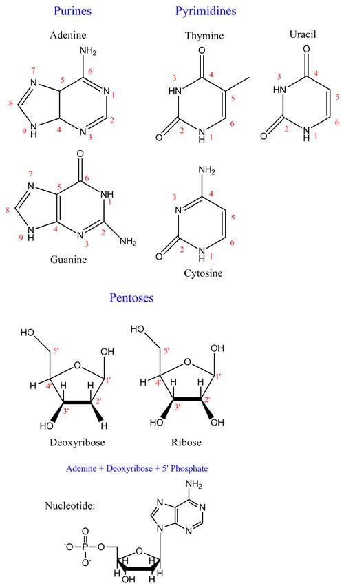 Nucleobase & Pentose Numbering System