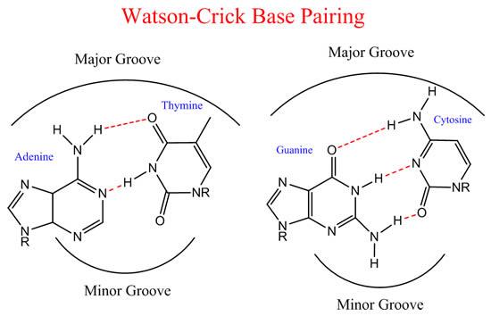 Watson-Crick Base Pairing
