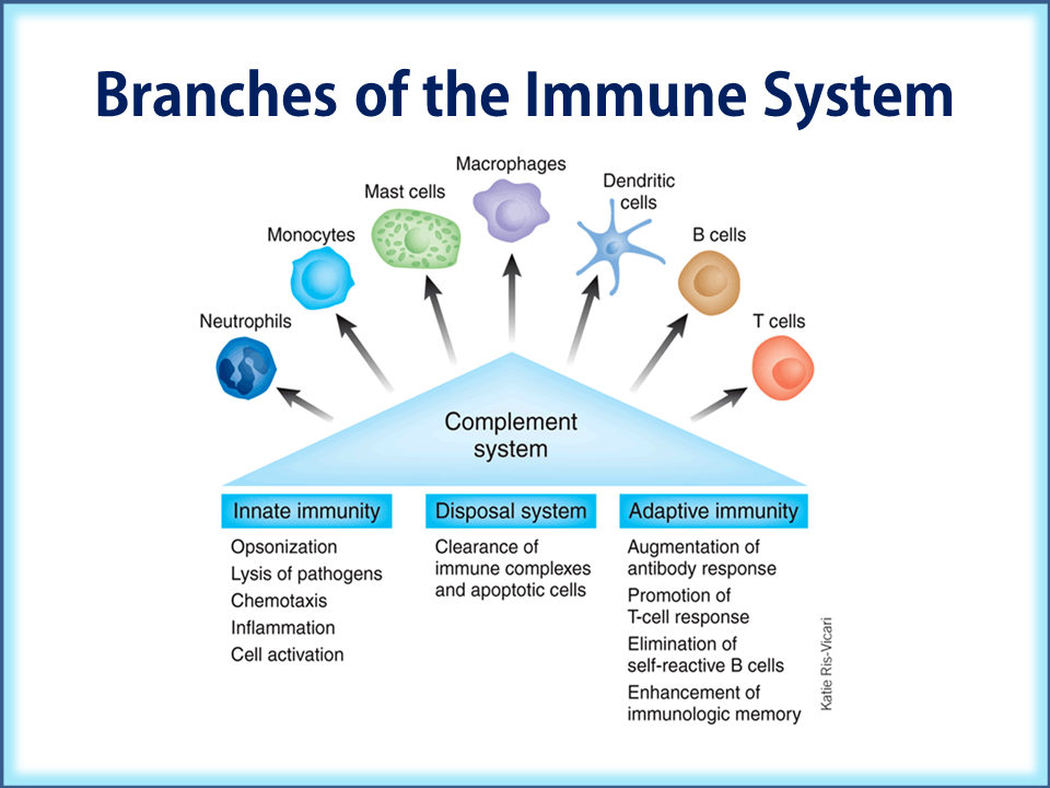 Branches of the Immune System
