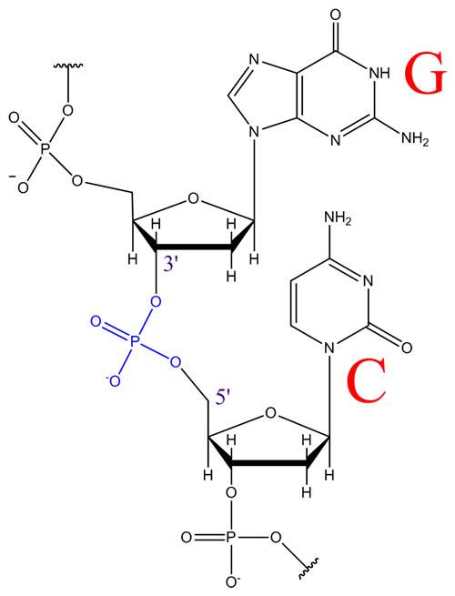 3'-5' Phosphodiester Linkage